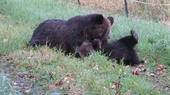 A grizzly bear mother attends to her cub in Tweedsmuir Provincial Park, British Stock Footage