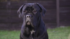 Alone Young Dog Cane Corso Breed sitting in backyard Stock Footage