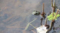 Frog Sitting in the River Stock Footage