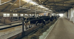 Cows in pens under the roof Stock Footage