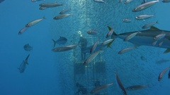 Great diving near the island of Guadalupe. Mexico. Stock Footage