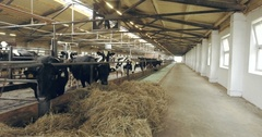 Cows are grazing in the building Stock Footage