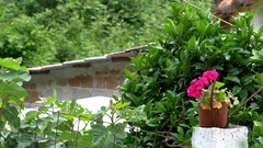 Potted geraniums placed on a pillar in the courtyard vegetation beaten Stock Footage