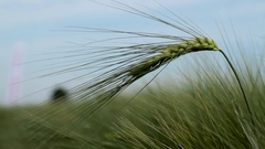 Green wheat ear and blue sky close up Stock Footage