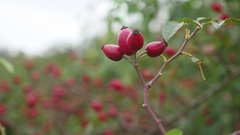Rose dog-rose hips on a green briar background nature Stock Footage