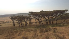 Safari jeep game driving past cows grazing on mountain slope in African savannah Stock Footage