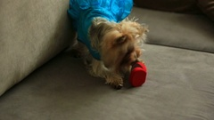 Little dog in blue dress plays with velvet box with wedding rings Stock Footage