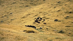 Herd of horses with herdsman and dog on pasture Stock Footage