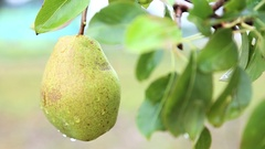 Ripe pear on tree in the orchard shaking on the hard wind Stock Footage