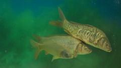 Fish swims in the aquarium Stock Footage