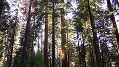 Sequoia Forest in Sequoia & Kings Canyon California Stock Footage