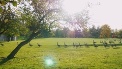 On green meadow walks flock of Canada Geese. Clear autumn day, at sunset. Park Stock Footage