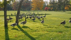 On green meadow walks flock of Canada Geese. Clear autumn day, Crystal clear air Stock Footage
