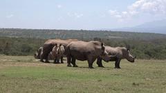 White rhinos standing in grassland after mudbath, UHD Stock Footage