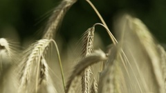 Rye - harvest ready in close up Stock Footage