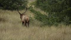 Roosevelt Bull Elk Cervus canadensis roosevelti Stock Footage