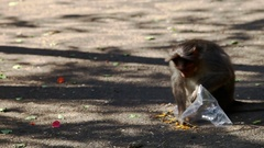Monkey Sits on Ground Eats Food by Torn Plastic Bag Stock Footage
