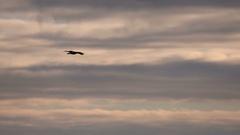 Eagle, Bald Eagle, Bird, Fly, Flight, Flying Stock Footage