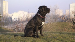 Young dog Cane Corso Italiano Champion sitting in public park Stock Footage