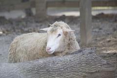 Sheep (Ovis aries) Kuvituskuvat