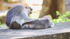 Closeup Monkey Sits on Stone Searches Fleas on Other in Park Stock Footage