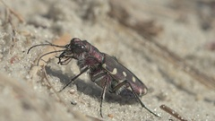 Insect Cicindela hybrida also known as the northern dune tiger beetle Stock Footage