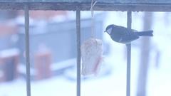 Titmouse eating lard. Titmouse near window caressing lard. Winter time. Stock Footage