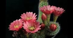 Cactus Flowers Blooming Stock Footage