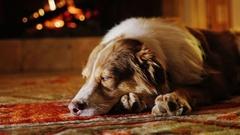 Portrait of Australian Shepherd, dozing near the fireplace Stock Footage