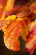 Parrotia persica tree detail Stock Photos