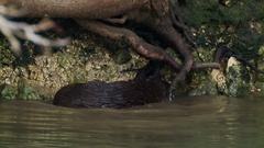 Otter cub ( Lutra lutra) catching and eating a fish Stock Footage