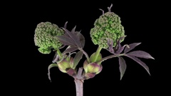 Time-lapse of growing viburnum opulus bush branch in RGB + ALPHA format Stock Footage