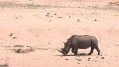 Rhino walking through the desert. Stock Footage