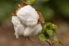Cotton exposed in the flower bud of the plant Stock Photos