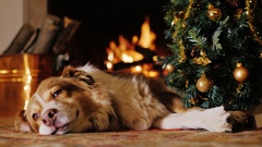The dog lies near a Christmas tree on the background of a burning fireplace Stock Footage