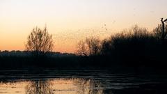 Murmuration flock of starlings birds at sun down wildlife background Stock Footage