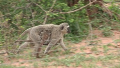 Monkey with baby walks past electric fence. Stock Footage