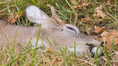 Deer head close-up dead. Victim of a collision with a car Stock Footage