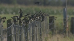 A mass of swallows on fence prepairing to migrate Stock Footage