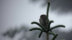 Pygmy Owl in a Pine tree on a rainy day Stock Footage