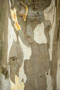 Bark detail of Plane tree Stock Photos