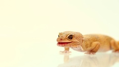 Yellow and orange spotted leopard gecko on white Stock Footage