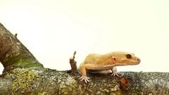 Yellow and orange spotted leopard gecko on white on branch Stock Footage