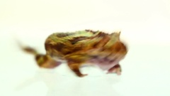 Horned frog on white background Stock Footage