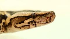 Royal Python, tiger python on white Stock Footage