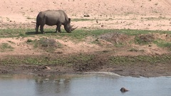 Rhino eating grass. Stock Footage