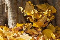 Parrotia persica tree leaves in autumn, commonly called Persian ironwood Stock Photos