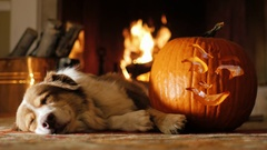 Australian Shepherd is around carved pumpkins. Preparing for Halloween Stock Footage