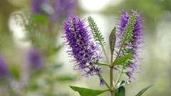 Hebe speciosa in plantain family Stock Footage