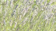 Lavandula latifolia, known as broadleaved lavender Stock Footage